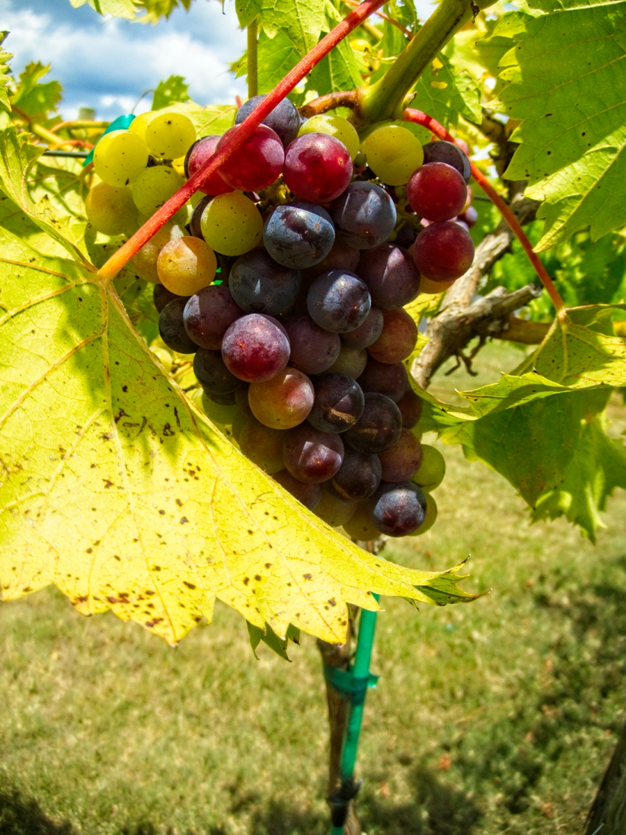 grapes grown in AR